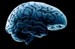 Human brain model, studio shot
